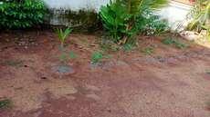 ക്ഷേത്രമുറ്റത്ത് കപ്പകൃഷി: ഭക്തജനങ്ങള് പ്രതിഷേധിച്ചു
