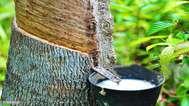 റബ്ബര് പാലിന്റെ ഡി.ആര്.സി. നിര്ണയ സര്ട്ടിഫിക്കറ്റ് കോഴ്സ്; റബ്ബര് ബോര്ഡിന്റെ ത്രിദിന ക്ലാസ് ഏപ്രില് 20 മുതല്