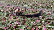 മലരിക്കലില് പ്രതീക്ഷയുടെ ആമ്പല് പൂക്കാലം, സഞ്ചാരികള്ക്ക് കൗതുകം, പ്രതീക്ഷയോടെ തോണിക്കാരുടെ ജീവിതവും