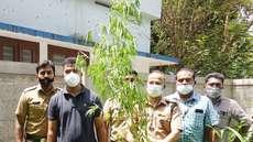ഗവണ്മെന്റ് യൂ പി.സ്കൂളിന് സമീപത്ത് നിന്നും  കഞ്ചാവ് ചെടികള് കണ്ടെടുത്തു