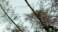 അപകട ഭീഷണി ഉയര്ത്തി വൈദ്യുതി ലൈനിന് ഇടയിലൂടെ മുളകള് വളര്ന്ന് പൊങ്ങി;  വെട്ടി നീക്കണമെന്ന ആവശ്യവുമായി നാട്ടുകാർ