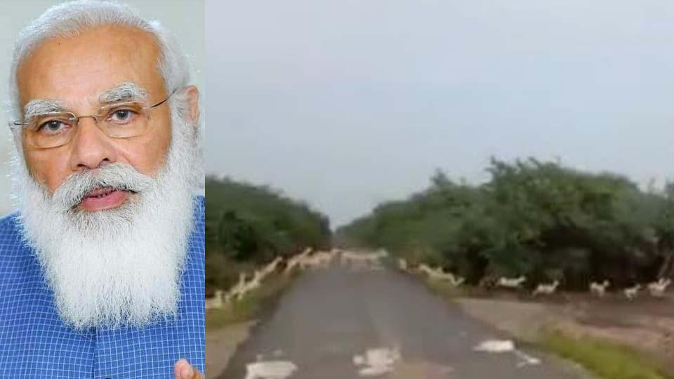 ഗുജറാത്തിലെ ദേശീയോദ്യാനത്തില് ആയിരക്കണക്കിന് മാനുകള് റോഡ് മുറിച്ചുകടക്കുന്ന വീഡിയോ പങ്കുവെച്ച് നരേന്ദ്ര മോദി